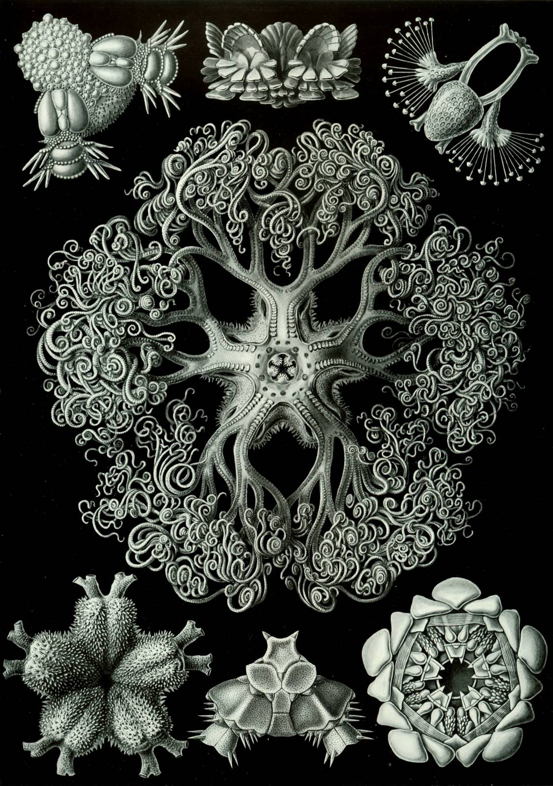 Artist of the Month : Ernst Haeckel